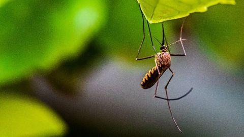 Genetically Modifying Mosquitoes To Control the Zika Virus