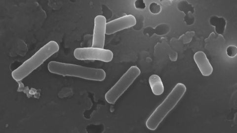 Lactobacilli Create a Favorable Gut Environment by Manipulating Bile Acids