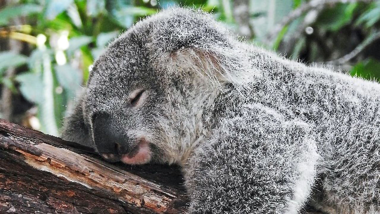 The Marsupial Brain Benefits From a Stretchy Shape