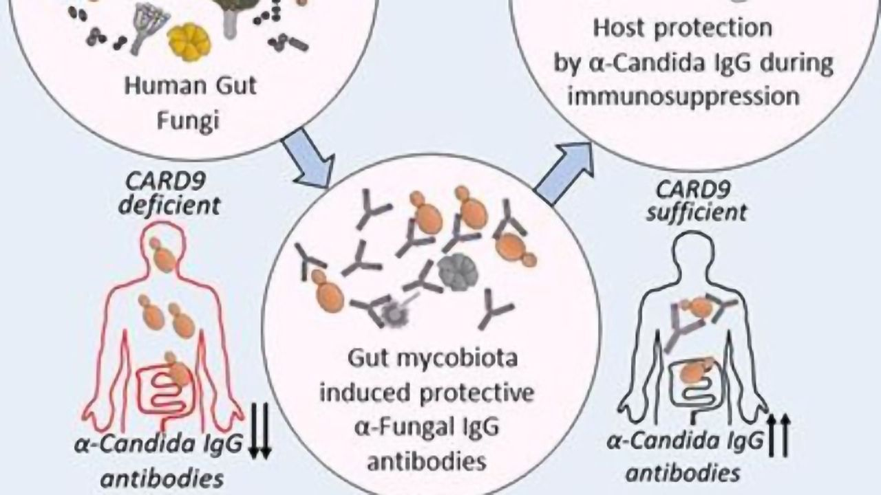 Immune System Primed Against Infection by Gut Fungi