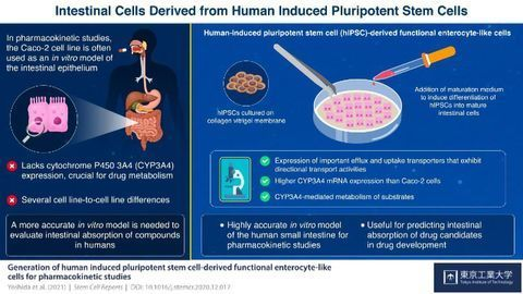 Intestinal Cells Successfully Generated From Human Induced Pluripotent Stem Cells