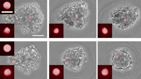 Cellular Forces Involved in Tissue Generation Revealed