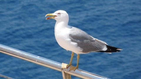 Seagulls as Sentinels of Environmental Antibiotic Resistance Issues
