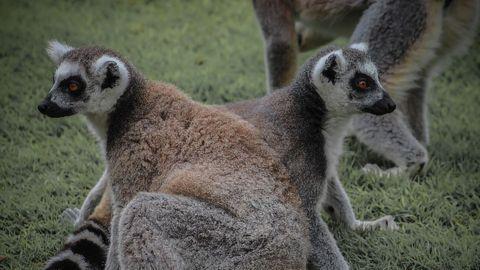 "Lack of Lemur ""Love Potion"" Suggests Monogamy Isn't As Simple As It Seems"