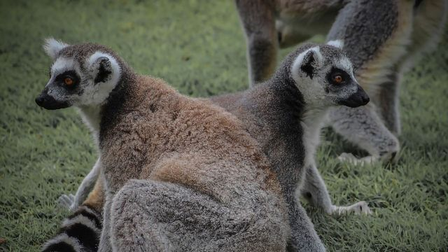 "Lack of Lemur ""Love Potion"" Suggests Monogamy Isn't As Simple As It Seems"