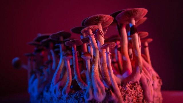 Behind the World-First Export of Jamaican Psilocybin Mushrooms
