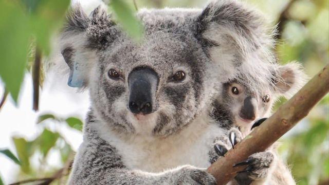 Retroviruses Cause Cancer by Rewriting the Koala Genome