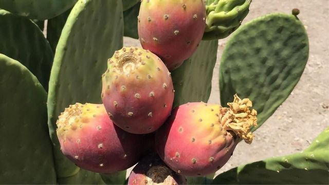 Cactus Pear Could Be the Sustainable Food and Fuel Crop of the Future