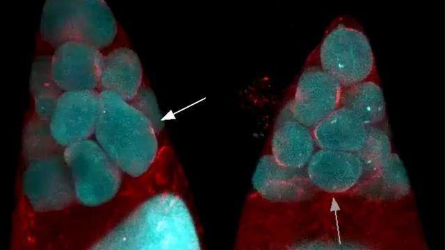 Study Reveals How Egg Cells Get So Big