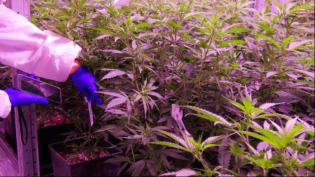 Indoor Cannabis Cultivation Leaves a Large Carbon Footprint, Study Finds