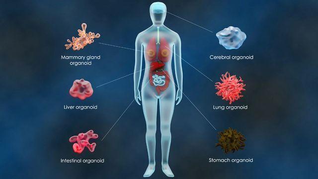 "Improving Drug Discovery With Organoid-Based ""Phase 0"" Testing"