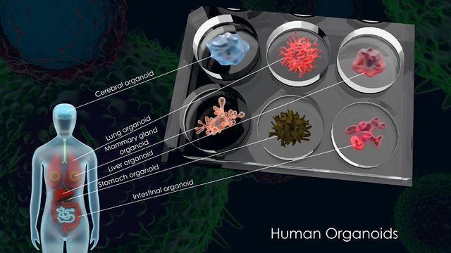 Exploring Human Biology and Disease With Organoid Models