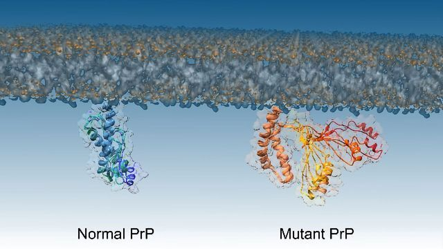 Protein Discovery Reveals Mechanism of Fatal Prion Brain Diseases