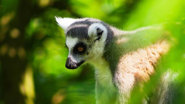Lemurs Can Hunt Out Remote Fruit When the Wind Blows