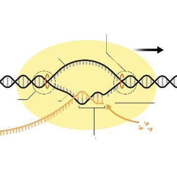 RNA聚合酶:功能与定义