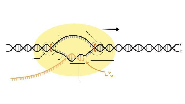 RNA Polymerase: Function and Definition