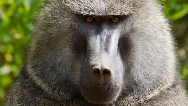 Study Shows Baboons, Like Humans, Can Solve Abstract Reasoning Tasks