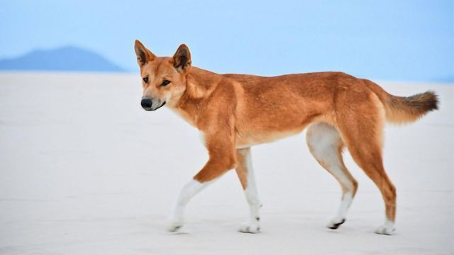 Most Wild Dogs in Australia Are Pure Dingoes