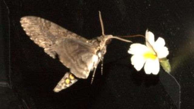 """Study in Pollinators Offers Clues to Darwin's """"Abominable Mystery"""""""