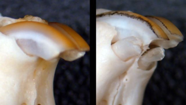Drug Shown To Regenerate Lost Teeth Using Mouse Model