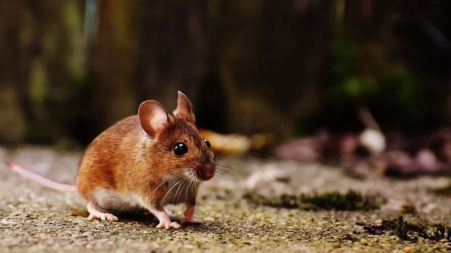 Why Mice Are Masters of Social Distancing