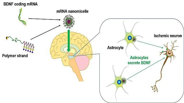 mRNA Delivery System Produces Therapeutic Protein in Rat Brains