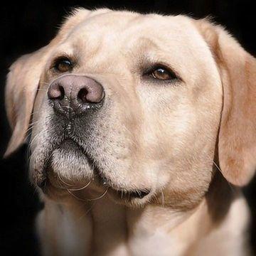 经过训练的狗嗅出covid -19阳性样本的准确率为96%