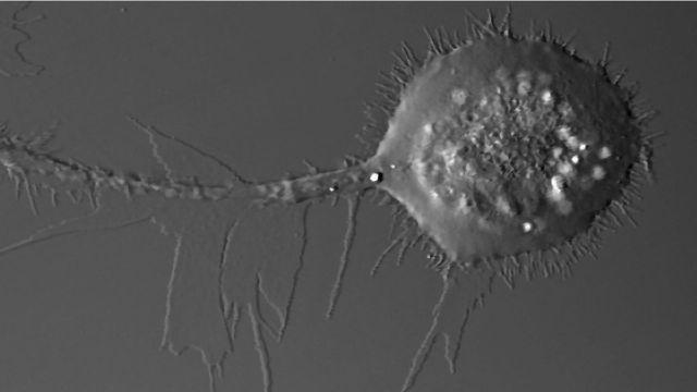 揭示了唯一的细胞迁移模式
