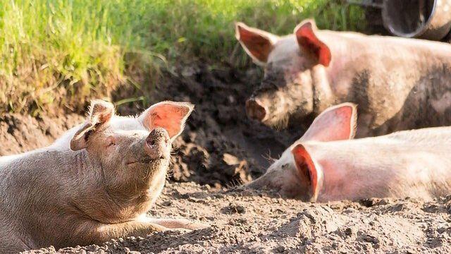基因工程猪和鸡提供了健康和疾病的见解