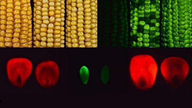 突变玉米基因可能导致更好的繁殖