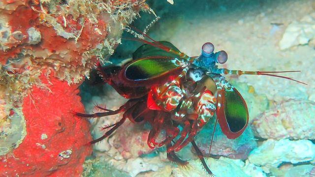 螳螂虾眼力激发了癌症手术的成像技术