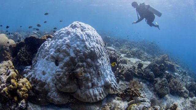 用益生菌保护珊瑚免于白化