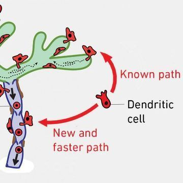 Dendritic Cells Can Take Shortcuts