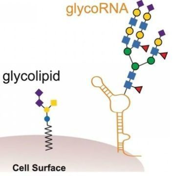 Stanford Team Discover an Entirely New Kind of Biomolecule