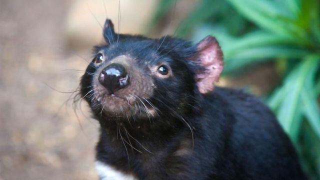 Team Studies the Evolution of Tasmanian Devils in Response to Transmissible Cancer