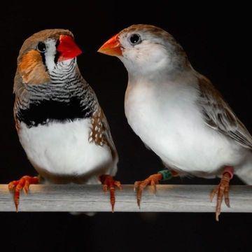 Songbird Melodies and Human Speech Share Patterns