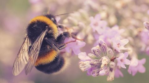 Caffeine Buzz Boosts Bees' Ability To Find Specific Blooms