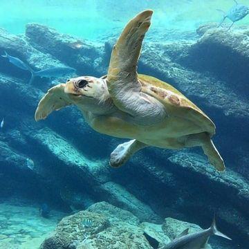 Potential Evolutionary Plastic Trap for Juvenile Turtles