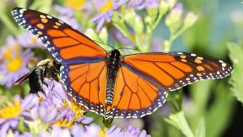 Isotope Mapping Sheds Rare Light Into Journey of Monarch Butterflies
