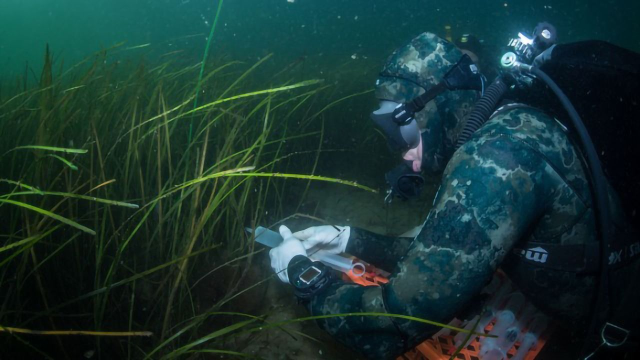 Harmful Vibrio Bacteria Removed From Sea by Seagrass Meadows