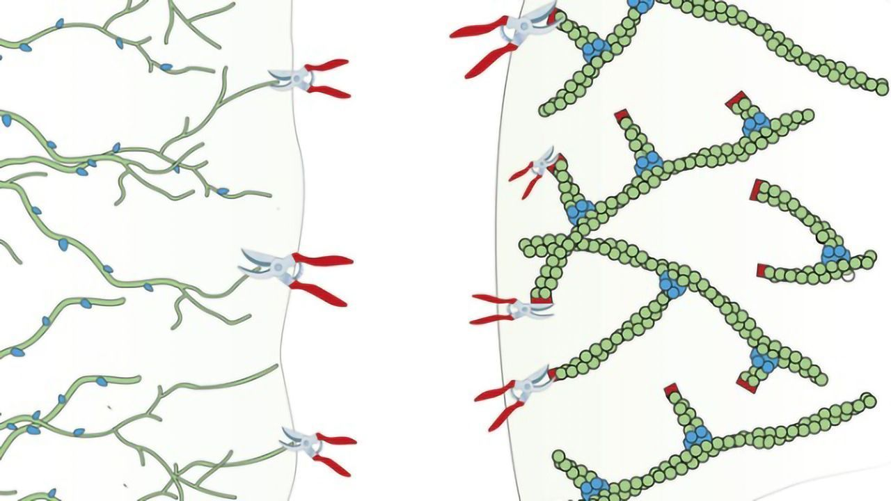 How Pruning the Cytoskeleton Moves the Cell