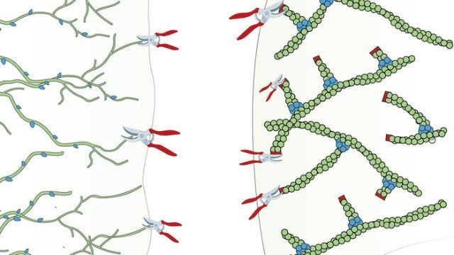 How Pruning the Cytoskeleton Moves the Cell - Technology Networks