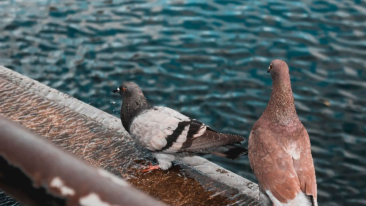 The Curious Case of Pigeon Beaks