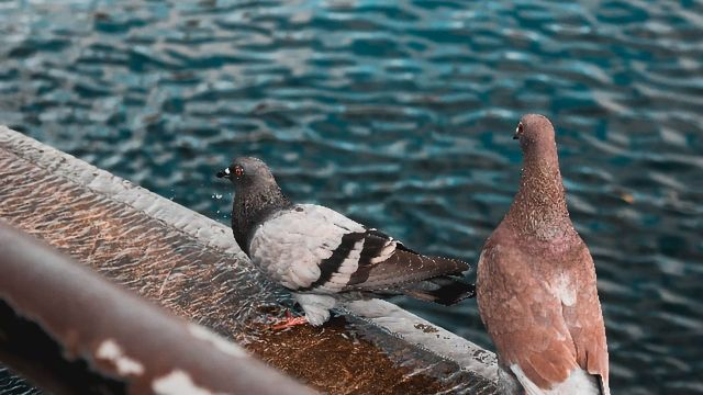 The Curious Case of Pigeon Beaks Video - Technology Networks