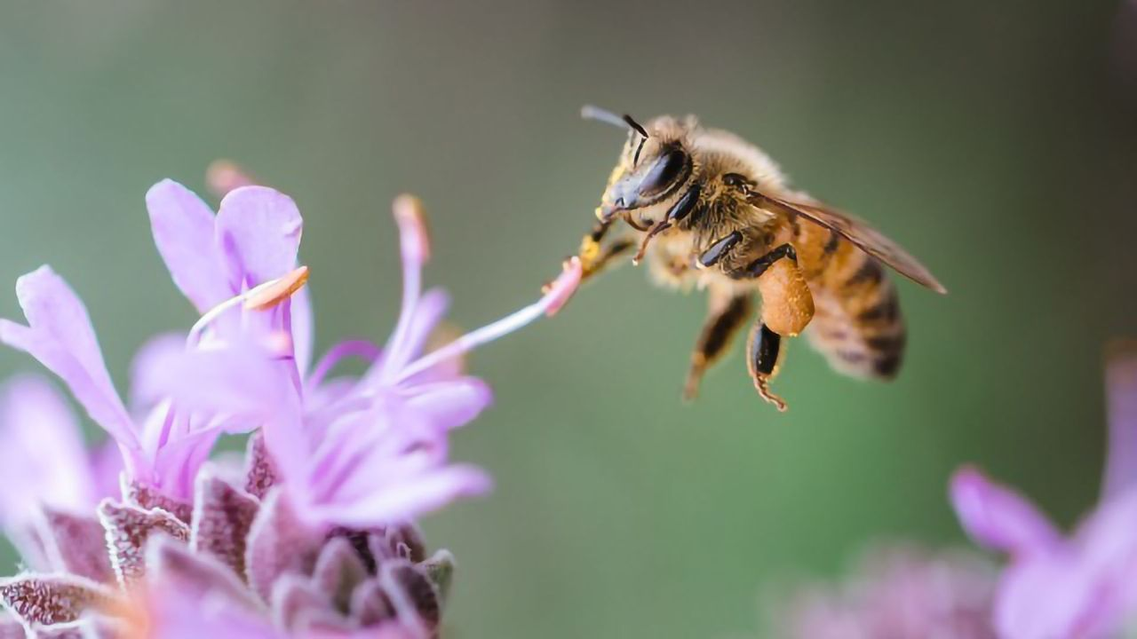 Plant Compound Helps Virus-Infected Honey Bees Find Their Way Home