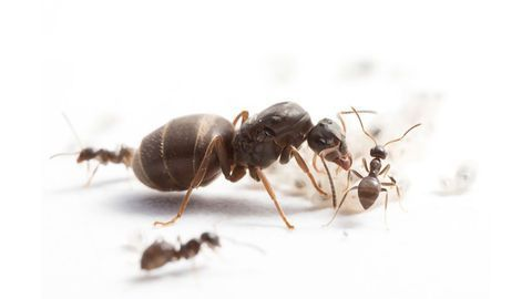 Genetically Diverse Ant Colonies Raise More Offspring