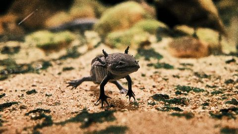 How Limb Development Evolved in Vertebrates