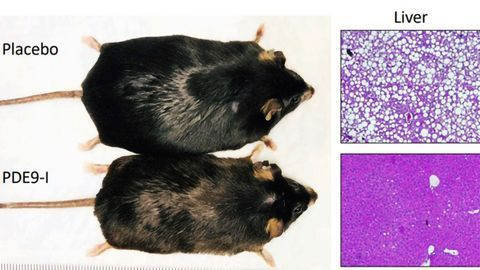Drug Reduces Obesity in Mouse Model