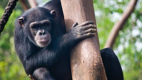 Humans and Chimpanzees Use a Part of Their DNA in Different Ways