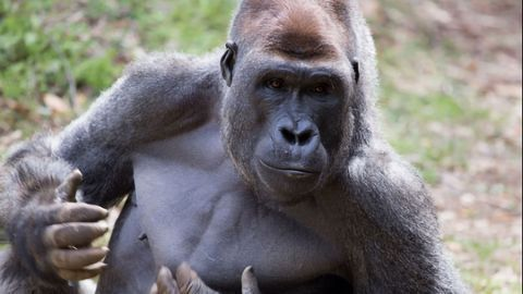 Western Gorillas Can Tell Human Voices Apart